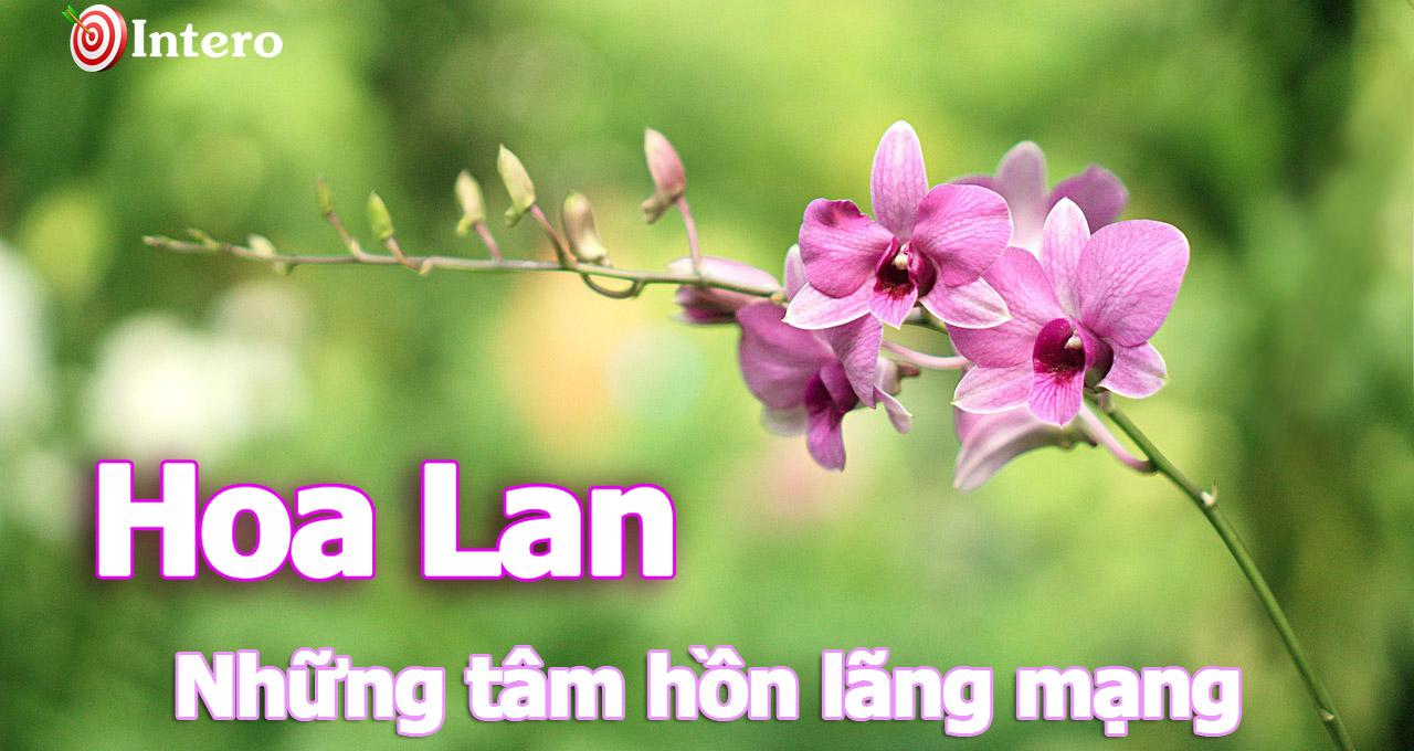 Hoa phong lan, sự thuần khiết của thiên nhiên